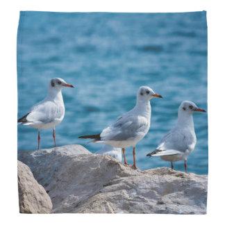 Black-headed gulls, chroicocephalus ridibundus bandana