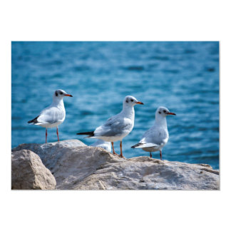 Black-headed gulls, chroicocephalus ridibundus card
