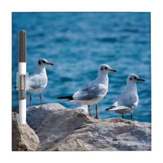 Black-headed gulls, chroicocephalus ridibundus dry erase board