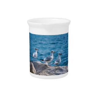 Black-headed gulls, chroicocephalus ridibundus pitcher