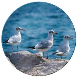 Black-headed gulls, chroicocephalus ridibundus plate