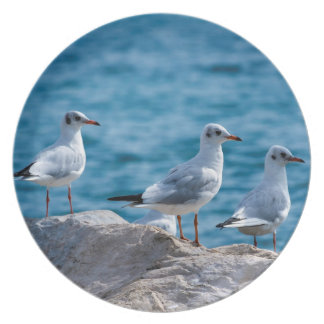Black-headed gulls, chroicocephalus ridibundus plates