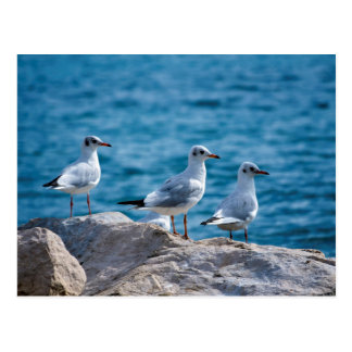 Black-headed gulls, chroicocephalus ridibundus postcard