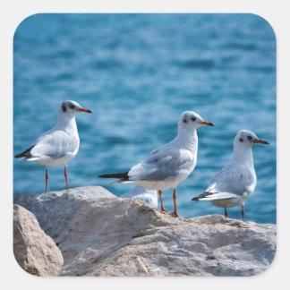 Black-headed gulls, chroicocephalus ridibundus square sticker