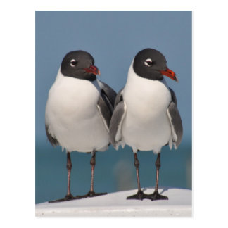 Black-Headed Gulls Postcard
