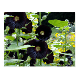Black Hollyhocks Postcard