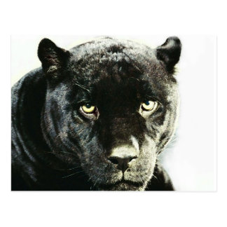 Black Jaguar Panther Postcard