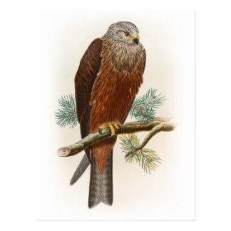 Black Kite Hawk John Gould Birds of Great Britain Postcard
