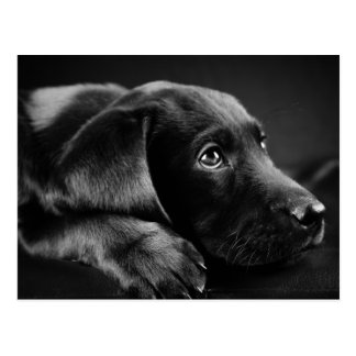 Black Lab On A Black Leather Couch Postcard
