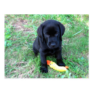 Black Labrador Duck Puppy 1 Postcard