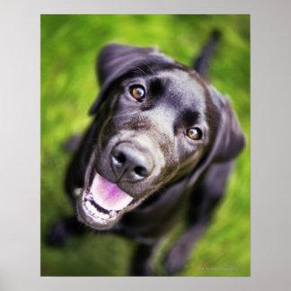 Black labrador puppy looking upwards, close-up poster