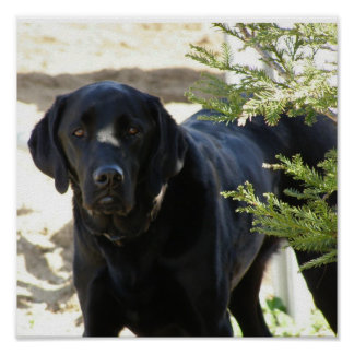 Black Labrador Retriever Dog Poster
