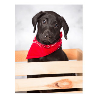 Black Labrador Retriever Puppy Postcard