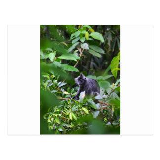 Black leaf monkey in tree Sumatra Indonesia Postcard