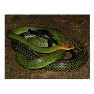 Black-margined Ratsnake or Green rat snake Postcard
