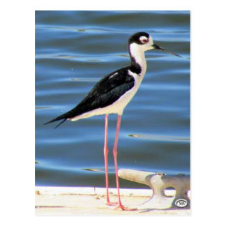 Black-necked Stilt Postcard