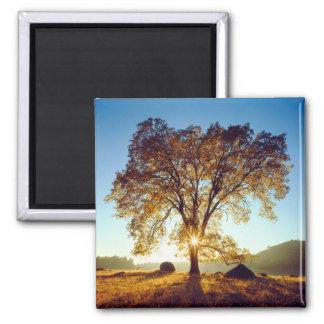 Black Oak Trees | Cleveland National Forest, CA Magnet