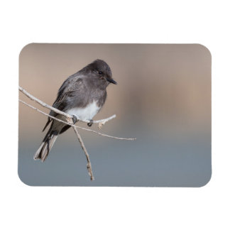 Black Phoebe Small Magnet