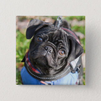 Black Pug Puppy Wearing A Jacket 2 Inch Square Button