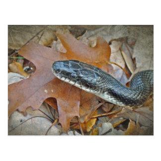 Black Rat Snake - Elaphe obsoleta obsoleta Postcard