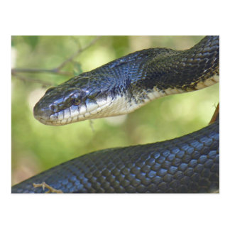 Black Rat Snake Postcard. Postcard