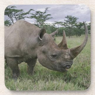 Black Rhinoceros, Diceros bicornis, Kenya 2 Coasters