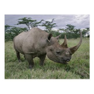Black Rhinoceros, Diceros bicornis, Kenya 2 Postcard