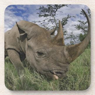 Black Rhinoceros, Diceros bicornis, Kenya Coaster
