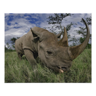 Black Rhinoceros, Diceros bicornis, Kenya Poster