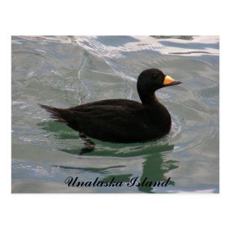 Black Scoter Duck, Unalaska Island Postcard