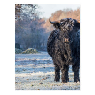 Black scottish highlander cow in winter landscape postcard