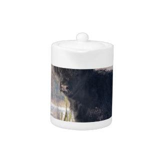 Black scottish highlander cow in winter snow