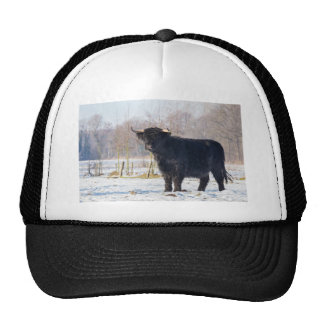 Black scottish highlander cow in winter snow trucker hat