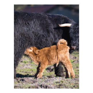 Black Scottish highlander mother cow and young Letterhead Design