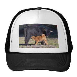 Black Scottish highlander mother cow with drinking Trucker Hat