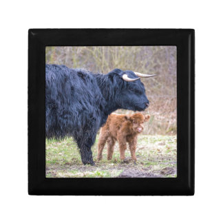 Black Scottish highlander mother cow with newborn Gift Box