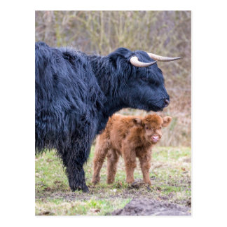 Black Scottish highlander mother cow with newborn Postcard