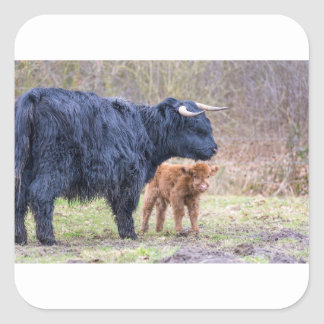 Black Scottish highlander mother cow with newborn Square Sticker