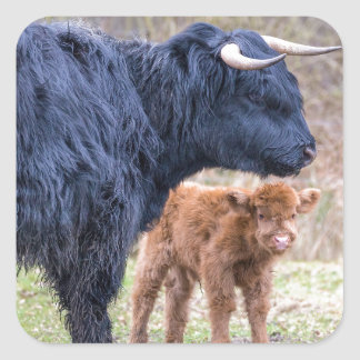 Black Scottish highlander mother cow with newborn Square Sticker