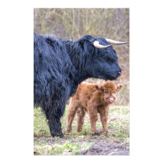 Black Scottish highlander mother cow with newborn Stationery