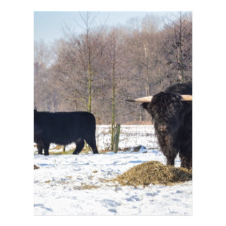 Black scottish highlanders in winter snow letterhead