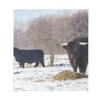 Black scottish highlanders in winter snow notepads