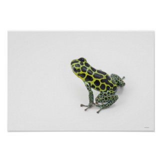 Black Spotted Green Poison Dart Frog Poster