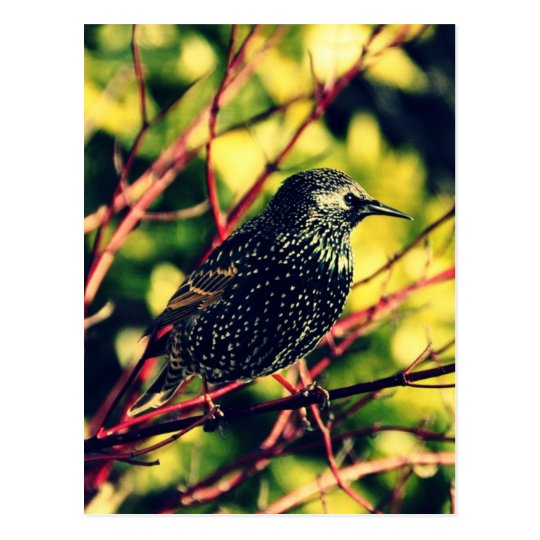 Black Starling Postcard