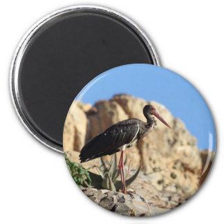 Black stork (Ciconia nigra) on a rock. Magnet