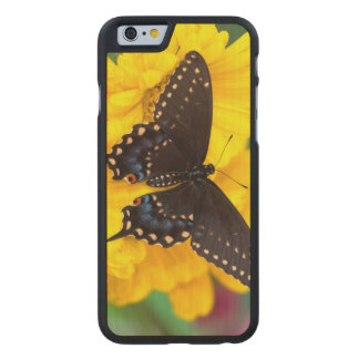 Black Swallowtail butterfly Carved Maple iPhone 6 Case