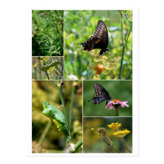 Black Swallowtail Butterfly Life Cycle Postcard