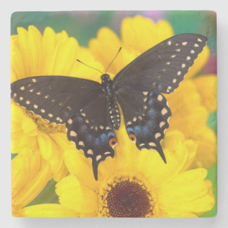 Black Swallowtail butterfly Stone Coaster