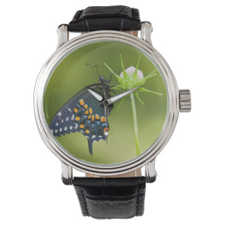 Black Swallowtail butterfly Watch