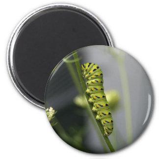 Black swallowtail caterpillar (parsleyworm) on Dil Magnet